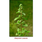 Marjoram Wild Crafted Essential Oil