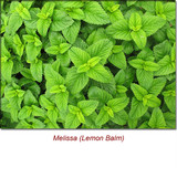 Melissa (Lemon Balm) Essential Oil