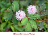 Mimosa Absolute Essential Oil (Acaica Mirensi) *Semi-Solid* (Comes in a Jar)
