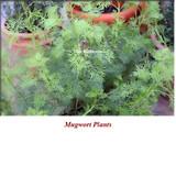 Mugwort (Armoise) Organic Essential Oil
