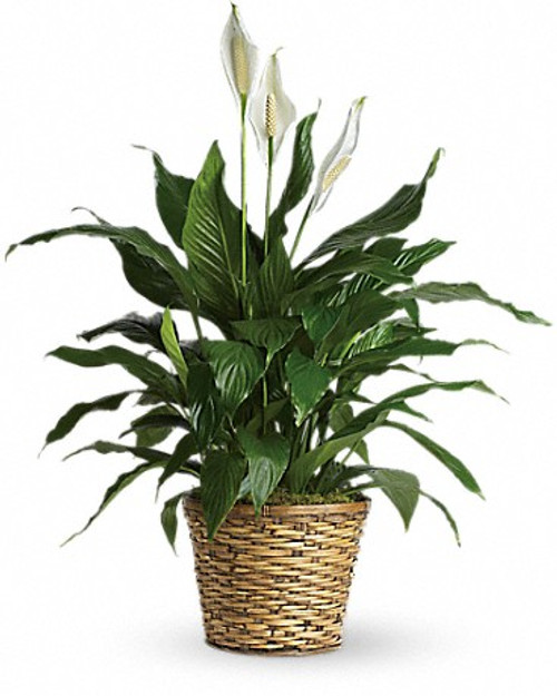 The Peace Lily-FNPFM-01