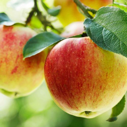 Buy Gravenstein Apple White Balsamic from Squizito Tasting Room