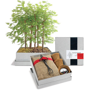 Dawn Redwood Forest Bonsai Tree | 2shopper.com
