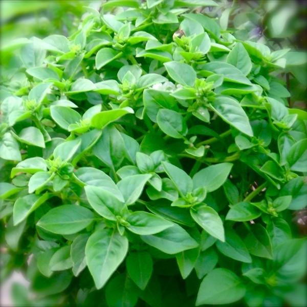 Organic Basil Garden-in-a-Bag