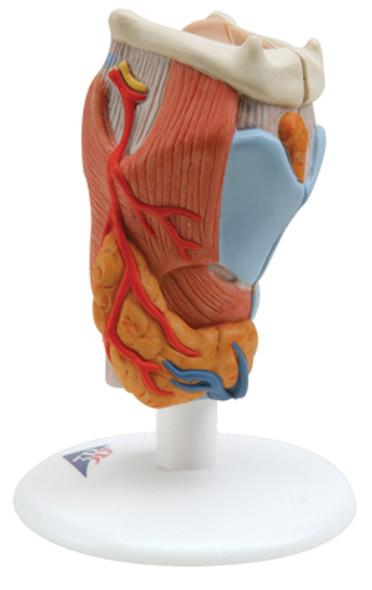 Larynx Models