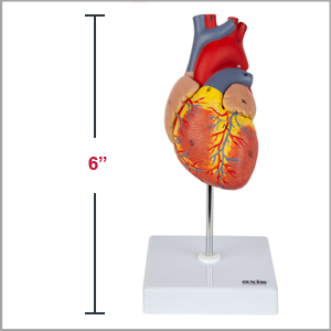 Axis Scientific Life-Size 2-Part Deluxe Human Heart Anatomy Model is 6 inches tall