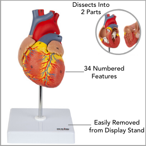 Heart model dissected into 2 pieces