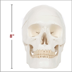 3 Part Human Skull and 8 Part Brain is 8 Inches Tall