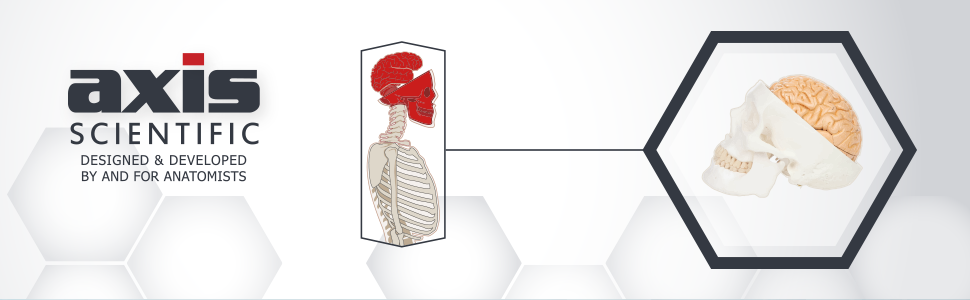 3-Part Human Skull and 8-Part Numbered Brain Model Bundle Header Image