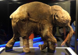Frozen baby mammoth 'Lyuba'