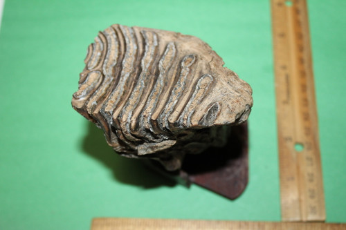 Mammoth Tooth Fossil Juvenile (M37)