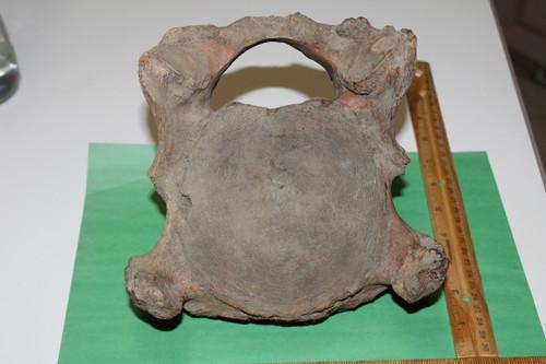 Mammoth Vertebra Fossil Large Adult (MV11)