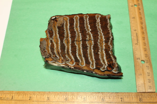 Mammoth Tooth Slice Fossil (SW1)