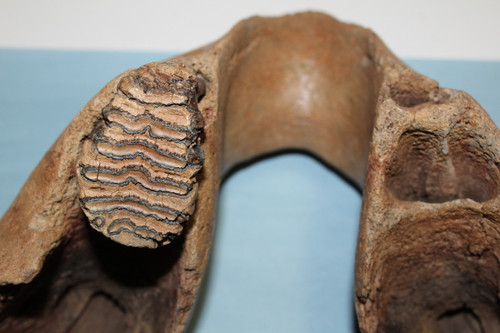 Mammoth  JAW & Tooth Fossil Adult (MJ11)