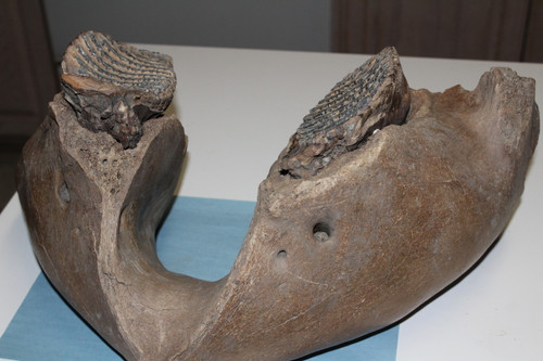Mammoth  JAW & Tooth Fossil Adult (MJ12)