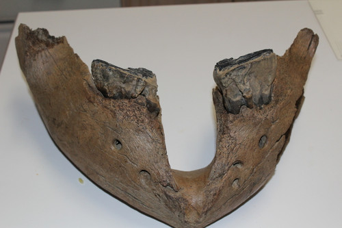 Mammoth  JAW & Tooth Fossil (MJ14)