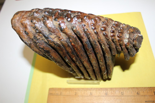 Mammoth Tooth Fossil 15,000 Yrs Old (MM81)