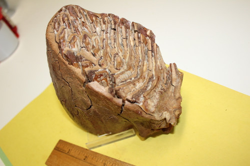 Mammoth Tooth Fossil 15,000 Yrs Old (M154)