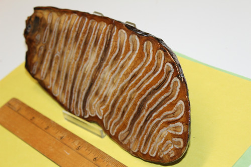 Mammoth TOOTH Slice Fossil (MTS1)