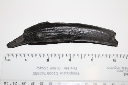 Squalodon sp. Whale Tooth Fossil (SW2)
