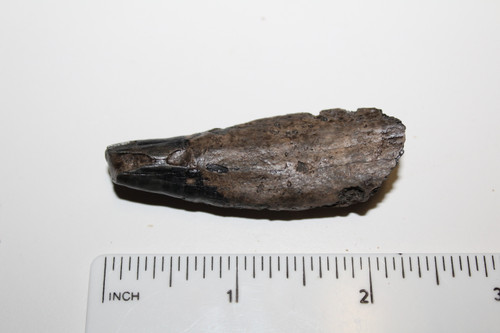 Squalodon sp. Whale Tooth Fossil (SQW5)
