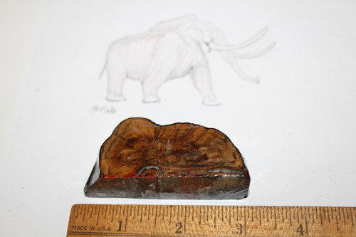 Mammoth Tooth Slice Fossil (WM16)