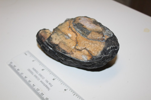 Mammoth Tooth Slice Fossil Florida (MM42)