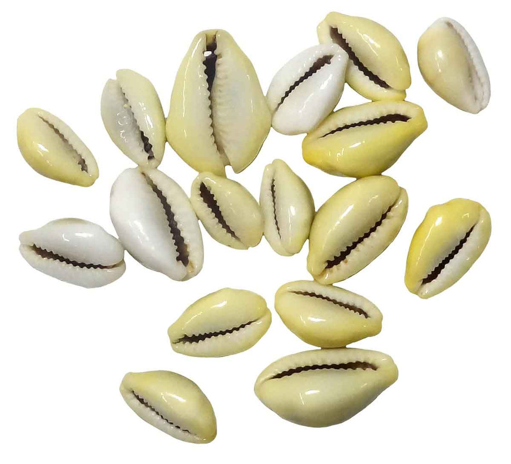 Money Cowrie Shell - Bottom View