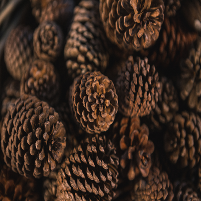 Roasted Pine Cone Fragrance Oil  Clean, crisp pine highlights this holiday scent along with a background of sandalwood, vanilla and slight hints of raspberry.