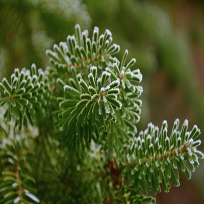 Balsam Fir Fragrance Oil  A refreshing outdoor woodsy blend with pine notes dominating on a base of light cedar and warm musk.