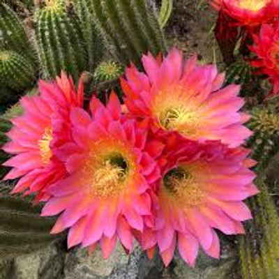 Baja Cactus Blossom (Type) Fragrance Oil  Refreshing blend of fresh flowers and light coconut with a soothing musk and sandalwood base. Inspired by the BBW® scent.