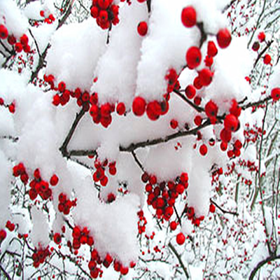 Winter Berry Fragrance Oil  The essence of winter berries glows bright as red currants, juniper berries and holly berries glisten over a frosted pile of iced vetiver and pine, with a cloud of white musk floating overhead.