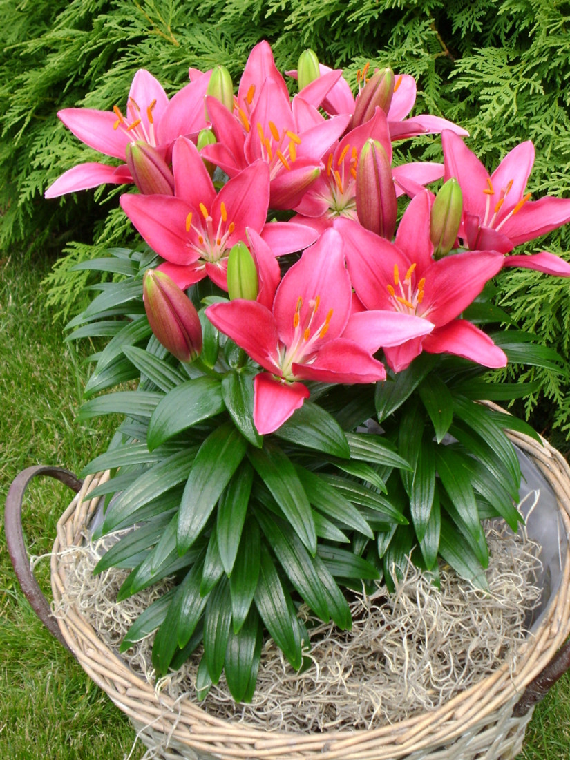 Lily Asiatic Lily Looks™ 'Tiny Pearl'