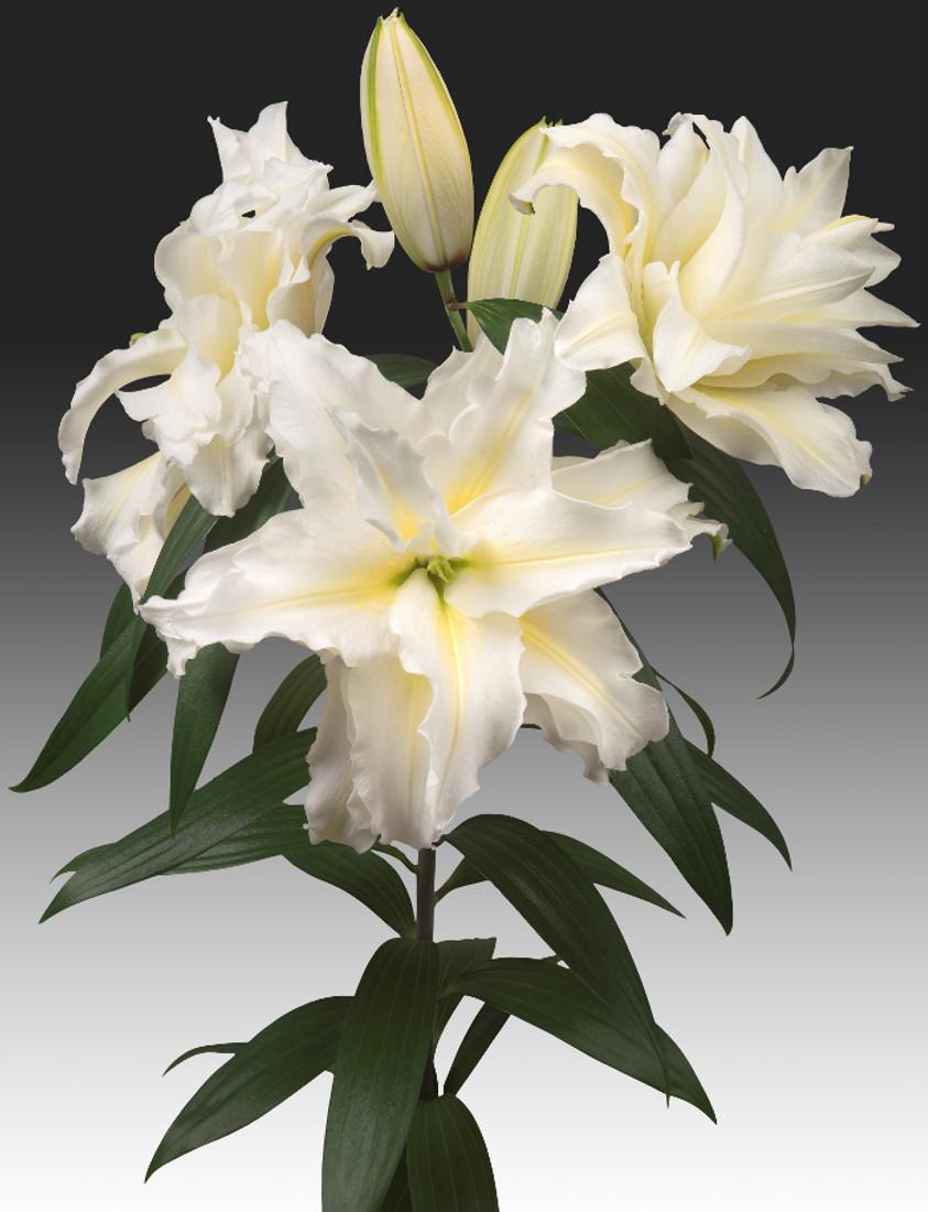 Lily Oriental Rose Lily™ 'Carolina'