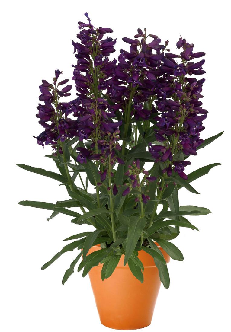 Penstemon barbatus var. praecox 'Pristine Lilac Purple'