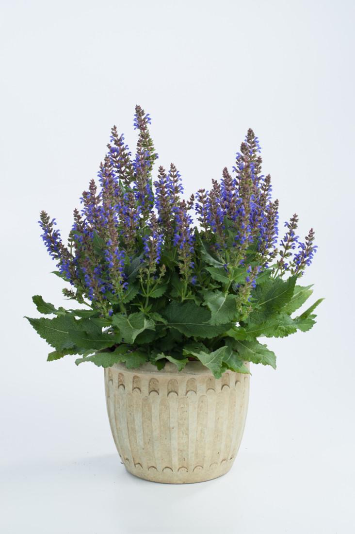 Salvia nemorosa Sallyrosa™ 'April Night'