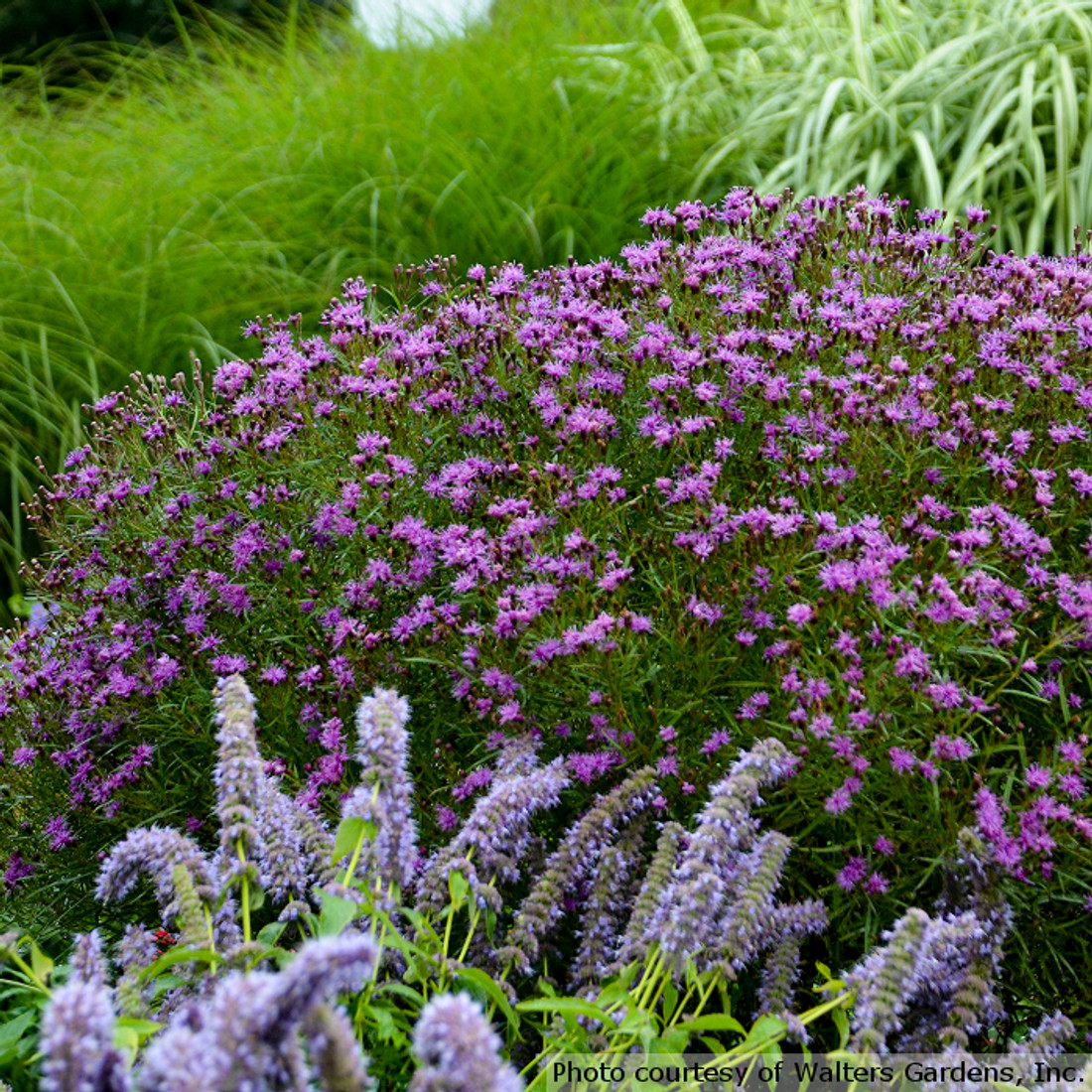 Vernonia 'Southern Cross'