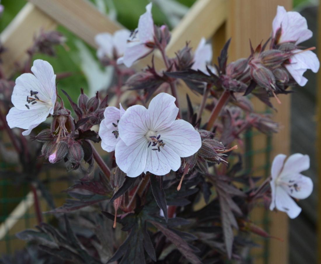 Geranium pratense 'Purple Ghost'