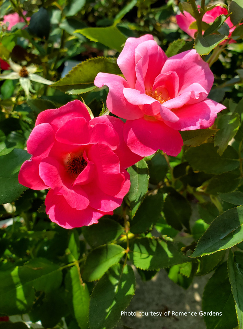 Rosa  'Pink Knock Out®'
