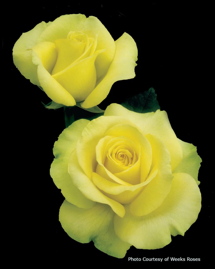 Rosa  'St. Patrick™'