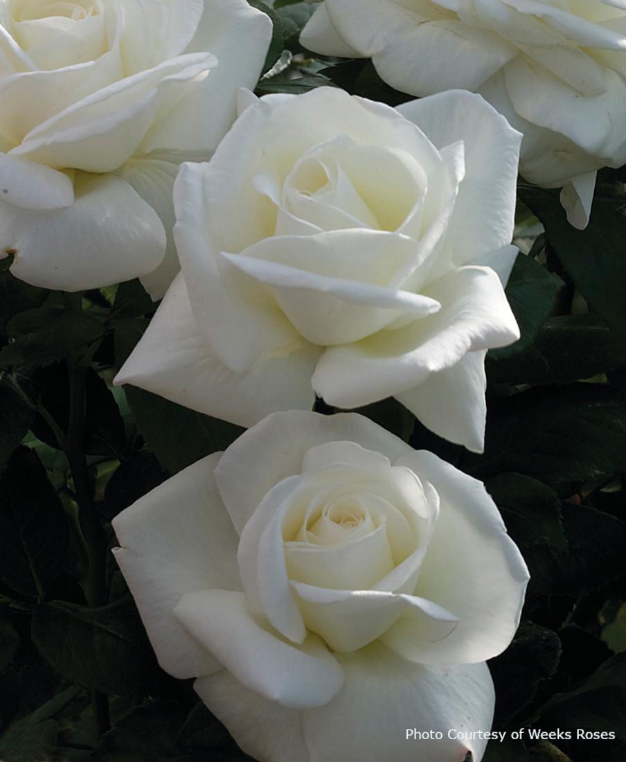 Rosa  'Sugar Moon™'