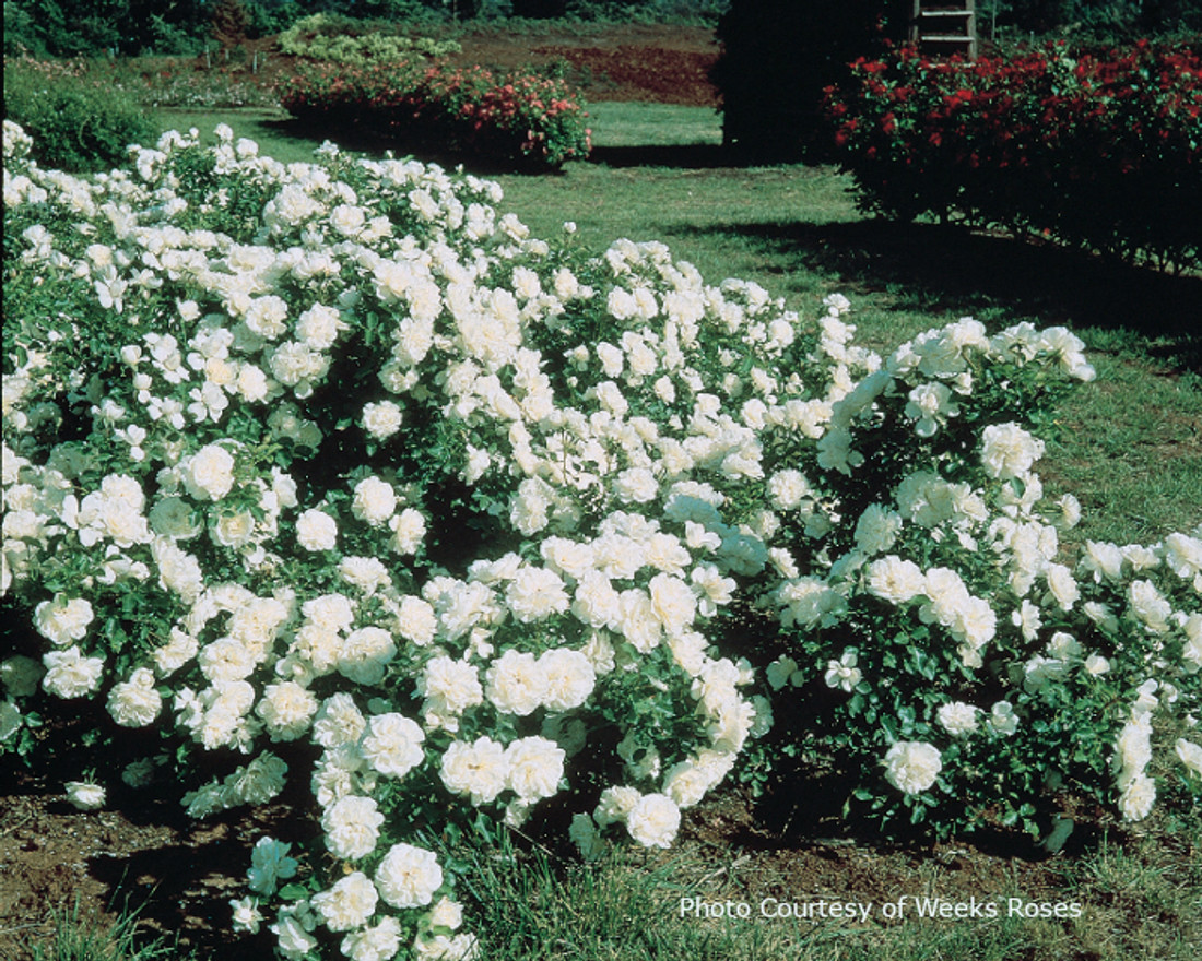 Rosa  'White Meidiland®'