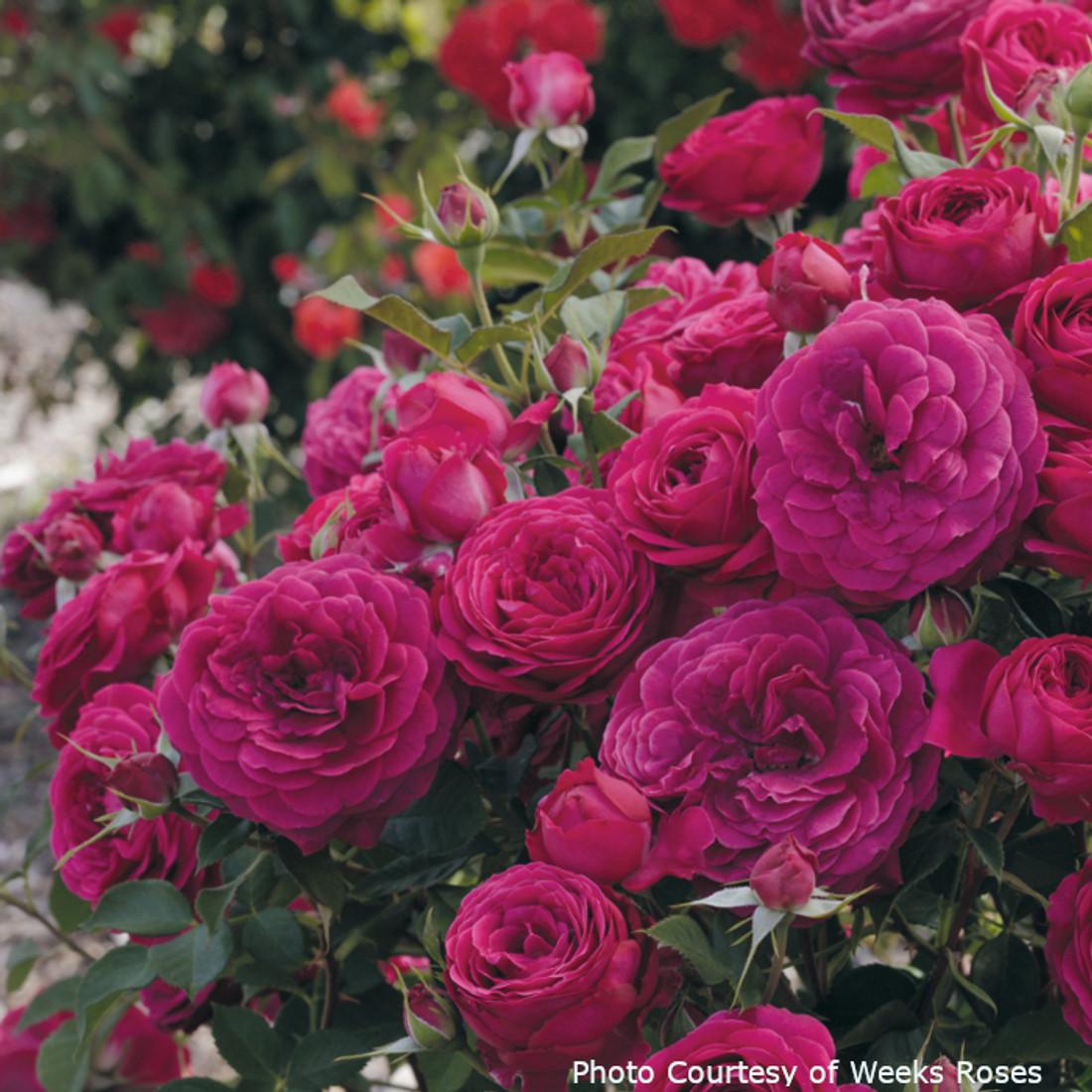 Rosa 'Celestial Night™'