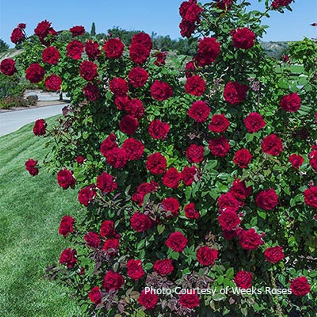 Rosa 'Lady In Red'