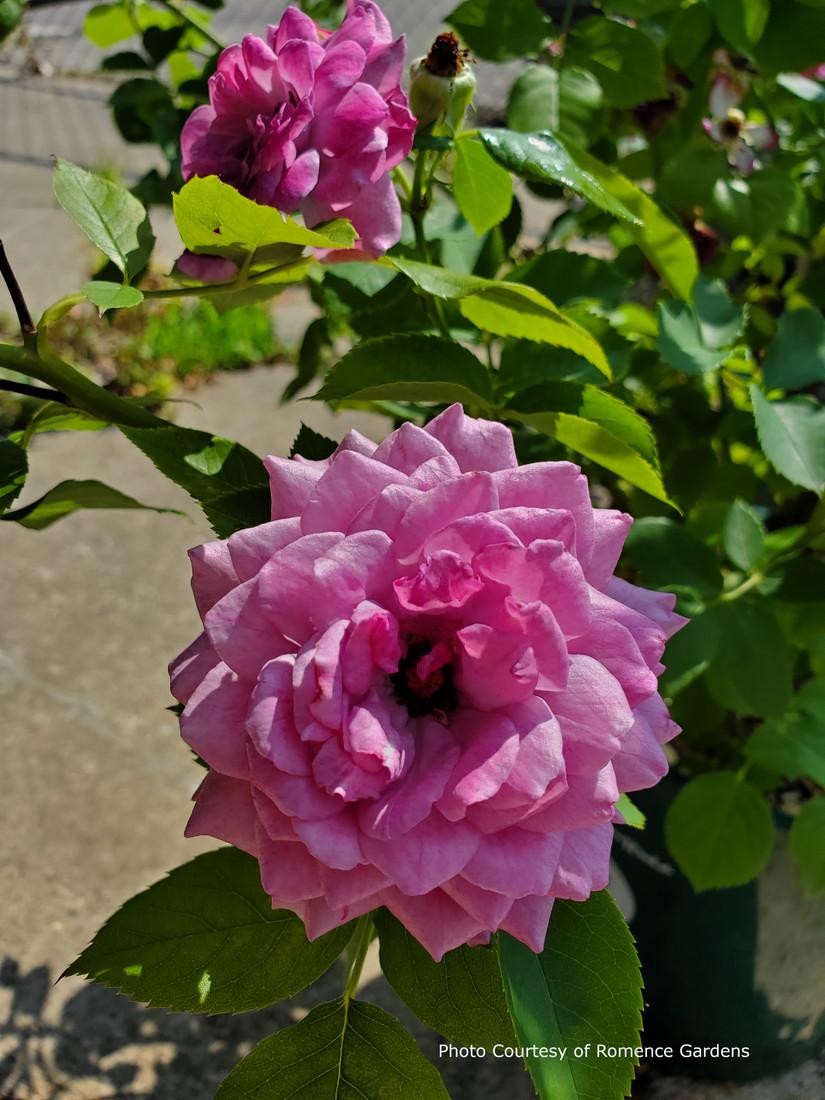 Rosa 'Life's Little Pleasures™'