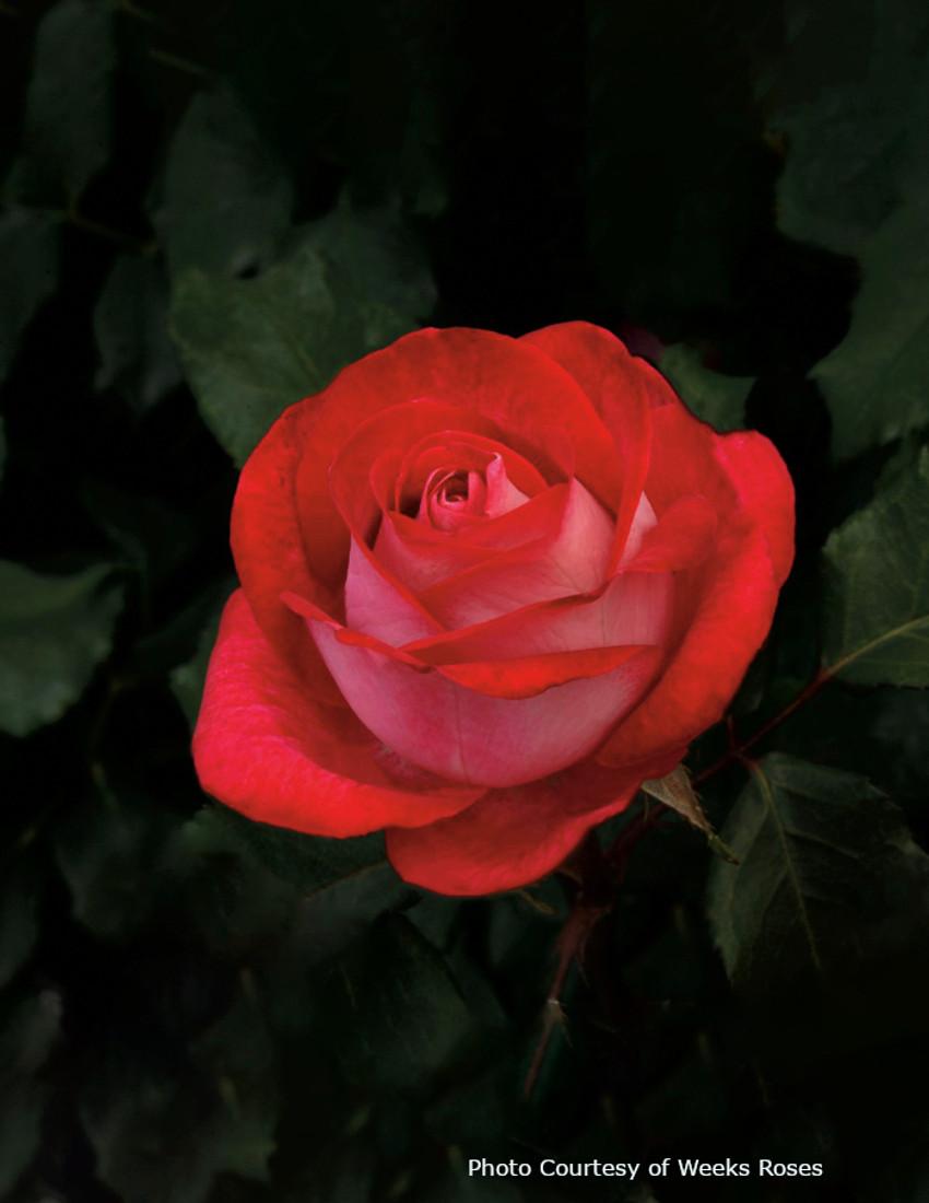 Rosa 'Love At First Sight'