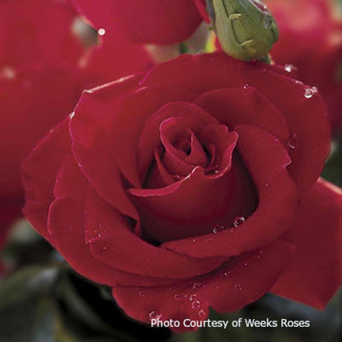 Rosa 'Veterans' Honor®'