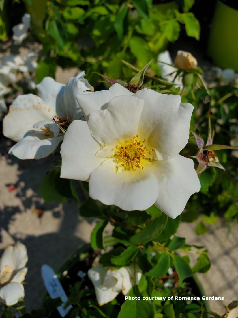Rosa 'White Knock Out®'
