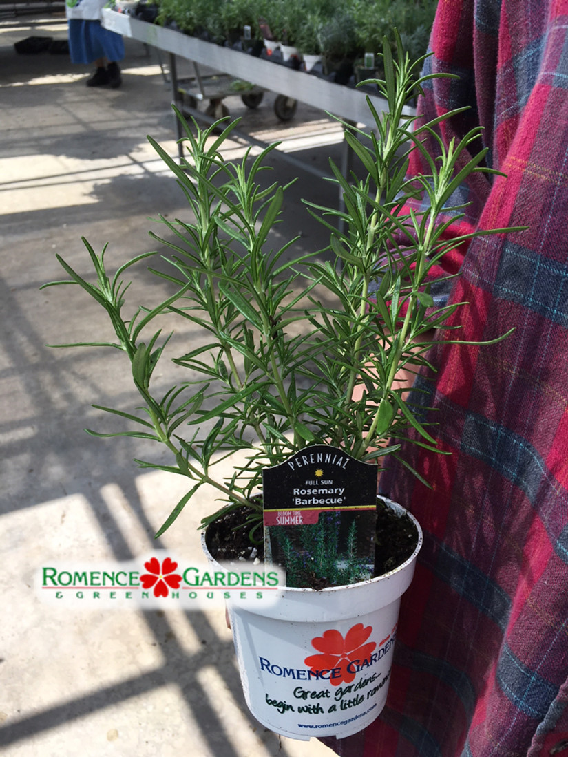 Rosemary 'Barbecue' (Herb)