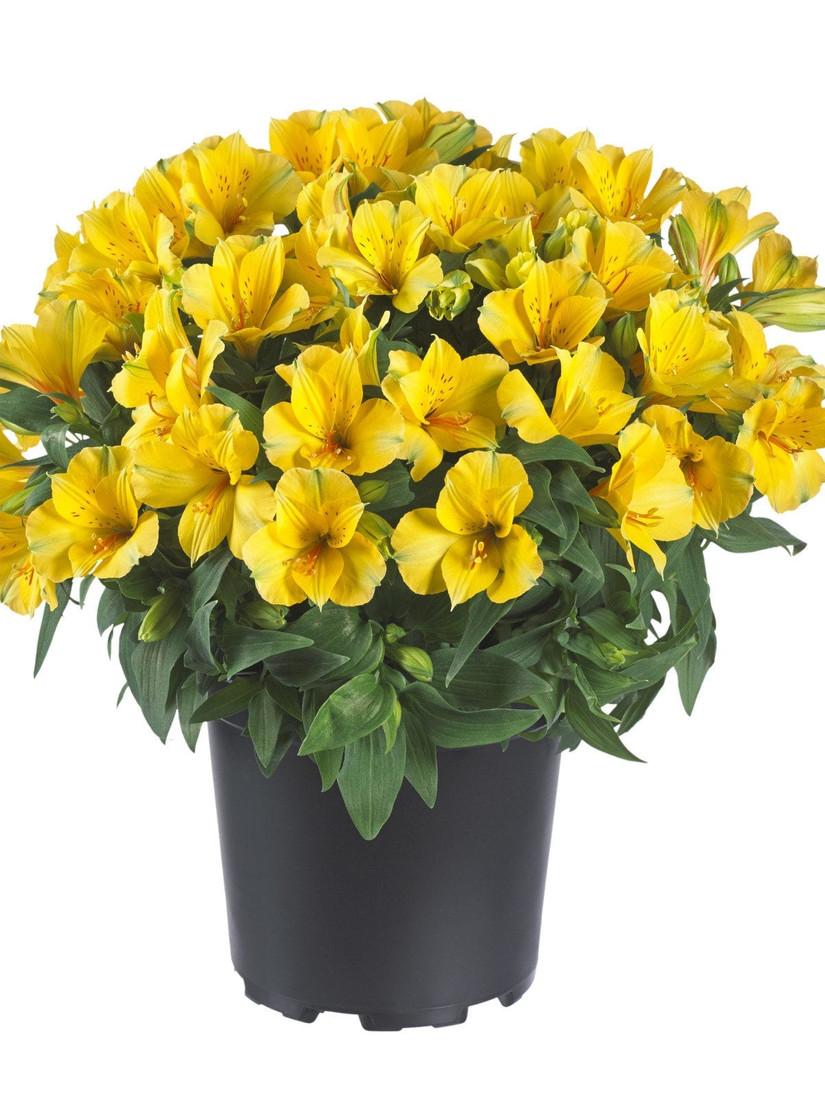 Alstroemeria Princess Lilies® 'Lisa'